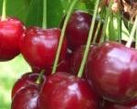ciliegie-agricola-bargiolina-150x150