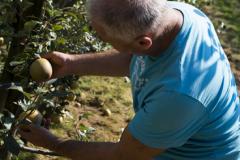 agricola-bargiolina-la-raccolta